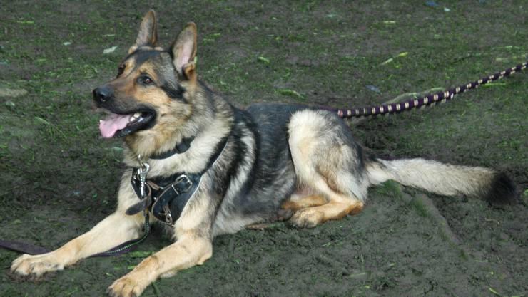 Diensthund Ex von der Viamala bei einer Übung. (Archiv)