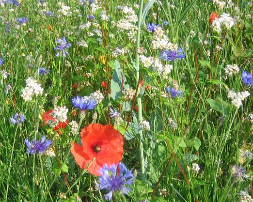Blumenwiesen, ein Paradies für Bienen.