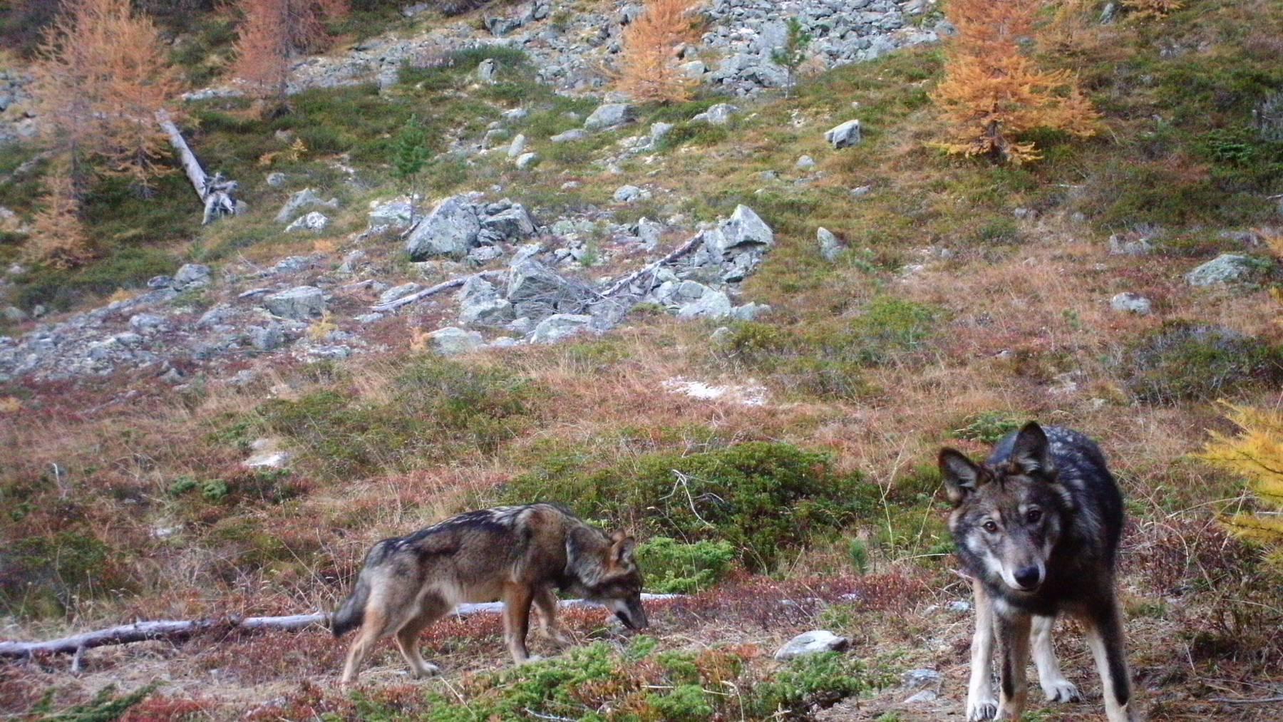 Mehr Wölfe, bessere Schutzmassnahmen, weniger Risse pro Wolf.