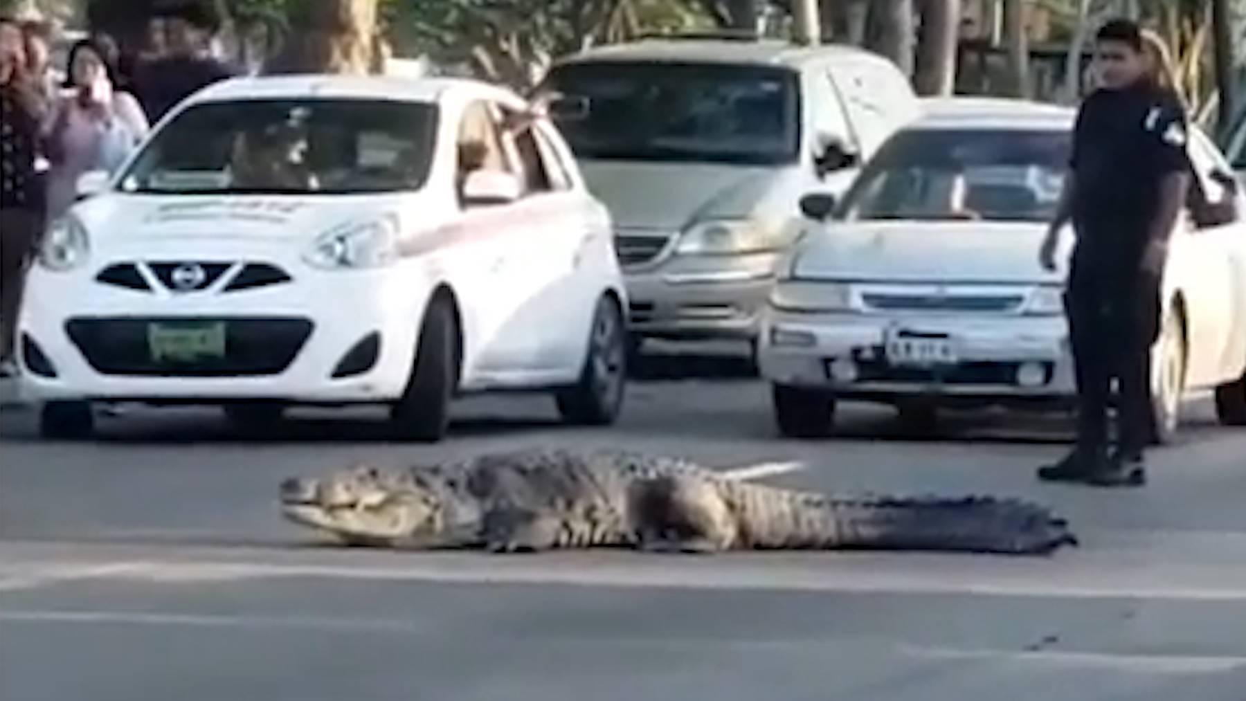 Krokodil legt in Mexiko Verkehr lahm