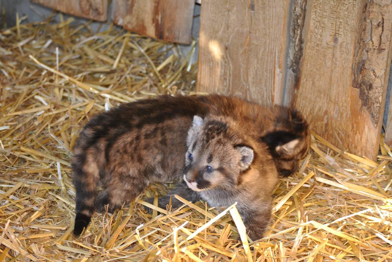 Junge Pumas sehen und hören zu Beginn ihres Lebens noch nichts. (© pd)