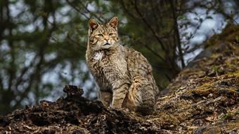 Die Wildkatze sieht einer getigerten Hauskatze sehr ähnlich, aber die Streifen sind etwas verwaschener.