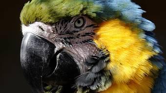 Haben Papageien einmal den richtigen Partner gefunden, können sie sehr monogam sein (Symbolbild)