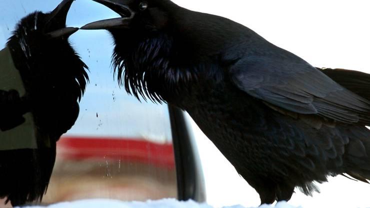"""Von wegen """"Vogelhirn"""": Rabenvögel sind genauso schlau wie Menschenaffen. Sie können sich zum Beispiel selbst im Spiegel erkennen. (Archiv)"""