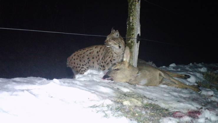 Täter und Opfer: In Lostorf ging ein Kuder, ein Luchs-Männchen in die Foto-Falle der Jagdgesellschaft.