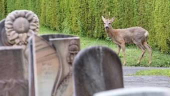Ein Reh auf dem Basler Friedhof Hörnli. Weil ihr Bestand zu gross geworden sein soll, ist der Abschuss einzelner Rehe geplant.