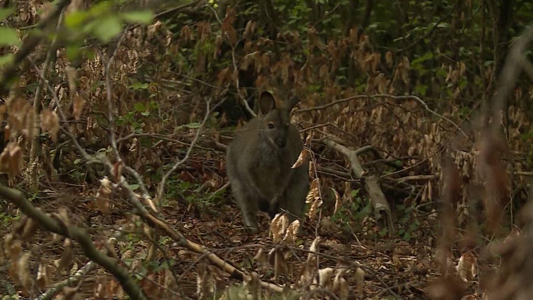 Känguru-Ausbruch hat Nachspiel für Besitzer