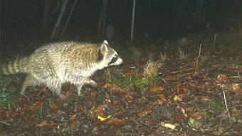 «Ein Spitzbube mit Zerstörungspotenzial»: So nennen Fachleute den Waschbären, der in Liesberg in die Fotofalle getappt ist.Meinrad Orlandi