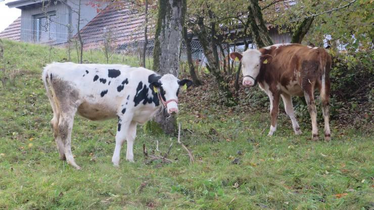 Die Kühe im Beriker Oberdorf beim Weiden.