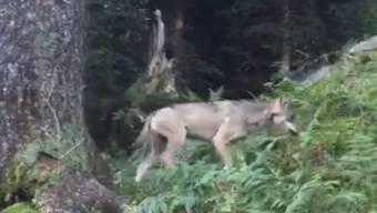 Der erste Wolf im Glarnerland seit der Rückkehr des Raubtieres in die Schweiz wurde im September 2016 oberhalb Mollis auf Video gebannt.