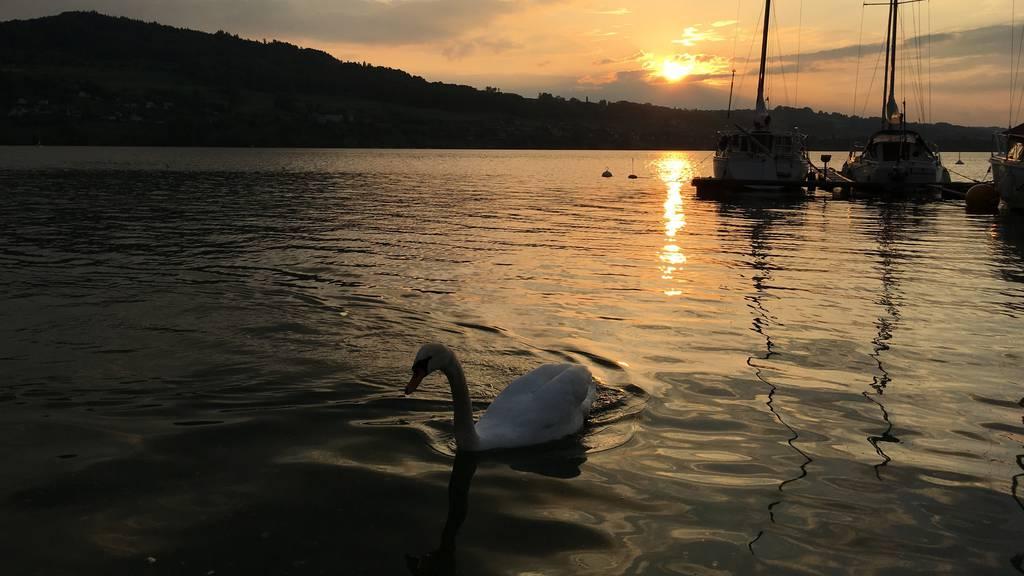 Tourismus gefährdet Hallwilersee-Vögel