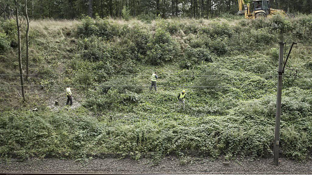 Am Bahnkilometer 65 werden Bäume gefällt. Dort vermuten Hobbyschatzsucher einen deutschen Panzerzug aus dem Zweiten Weltkrieg.