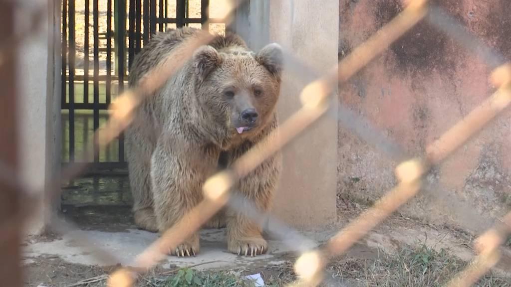Horror-Zoo geschlossen: Nach dem «einsamsten Elefanten» auch Bären-Paar gerettet