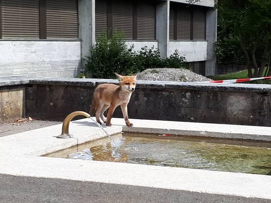 Vorübergehendes Spektakel: Ein junger Fuchs beim Schulbrunnen in Klingnau.