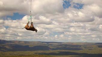 Nashorn-Umsiedlung per Hubschrauber