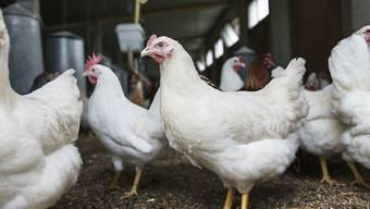 Die Newcastle-Krankheit ist hochansteckend und kann verschiedene Vogelarten betreffen. Für die Konsumenten besteht keine Gefahr. (Symbolbild)