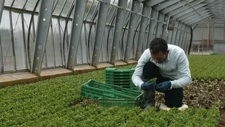 Gemüse vom Freiland oder Gewächshaus? Das ist die Frage in Birmenstorf. (Archiv)