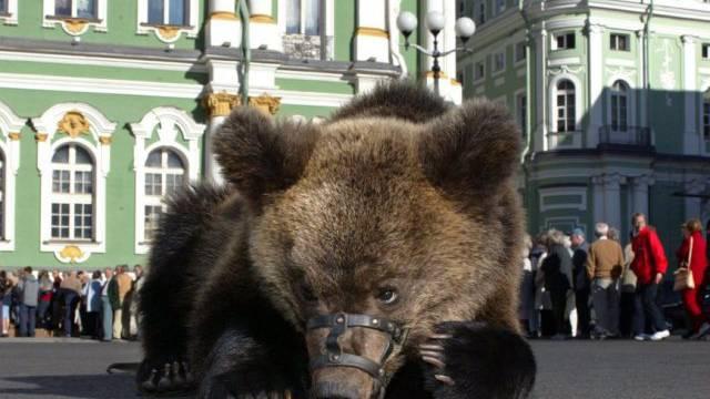 Russischer Braunbär als Fotomodell in St. Petersburg (Symbolbild)
