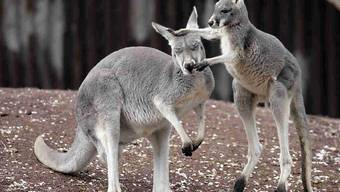 Meistens sind sie friedlich - in Australien wurden bei einem Känguru-Angriff jedoch drei Menschen verletzt. (Symbolbild)