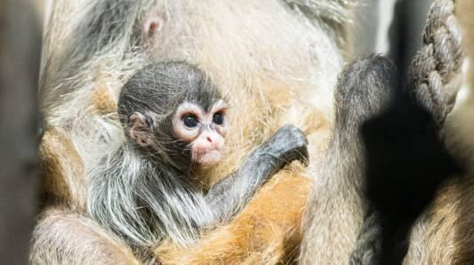 Zwei neue Klammeraffen-Babys im Zoo Basel