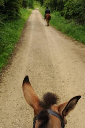 An den typischen grossen Ohren erkennt man ein Maultier