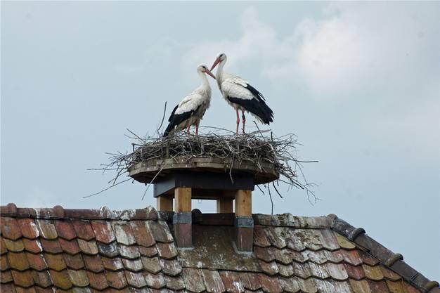 Am Freitag ist das Storchenweibchen auf dem «Adler» in Kaiseraugst eingetroffen, sein Partner wartete schon seit einigen Tagen.