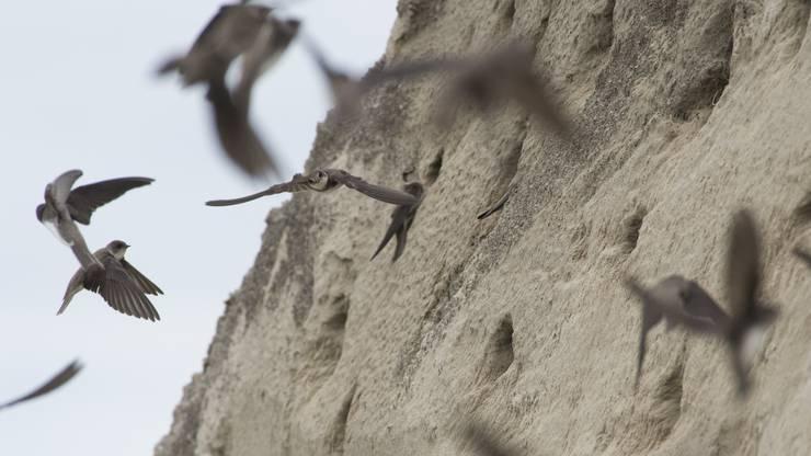 Mit dem neuen Programm sollen Artenförderungsprojekte (wie im Bild für Uferschwalben) unterstützt werden.