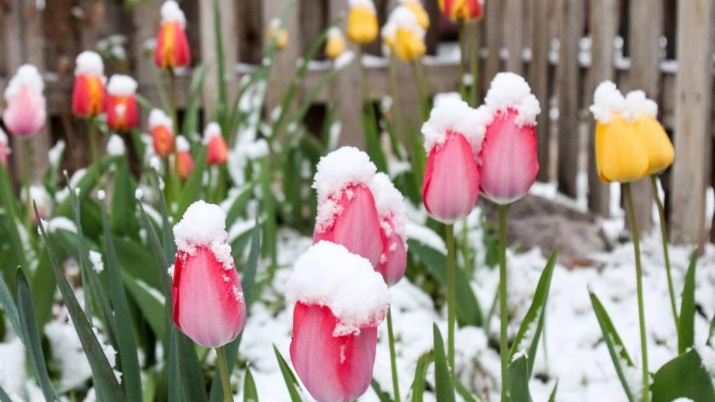 Überleben die Tulpen das Winterwochenende?