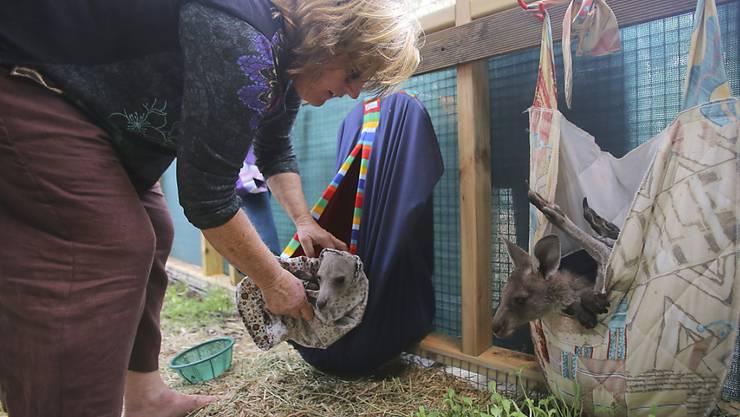 Ersatzbeutel für die verwaisten Beuteltiere: Gerettete junge Graue Kängurus in einer Station südlich von Sydney.