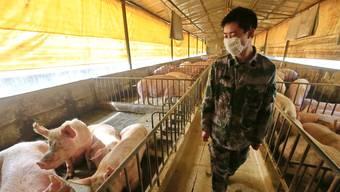 Zuchtschweine in China: Unter ihnen grassiert ein neuer Erreger mit Potenzial für eine Pandemie.