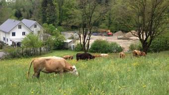 Die Rinder fressen auf einer Weide in Oberdorf, bevor sie abgeholt werden.