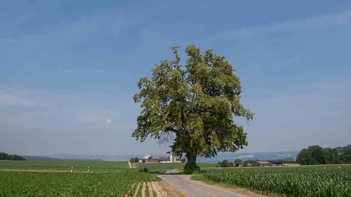 Die Gigerlinde in Tegerfelden muss gefällt werden, in der Nähe wird ein neuer Baum gepflanzt.Pascal Meier/Archiv