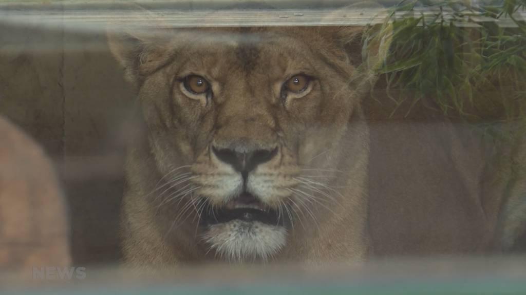 Neuzugang im Sikypark: Löwen-Dame Sabu bereichert Löwen-Haus