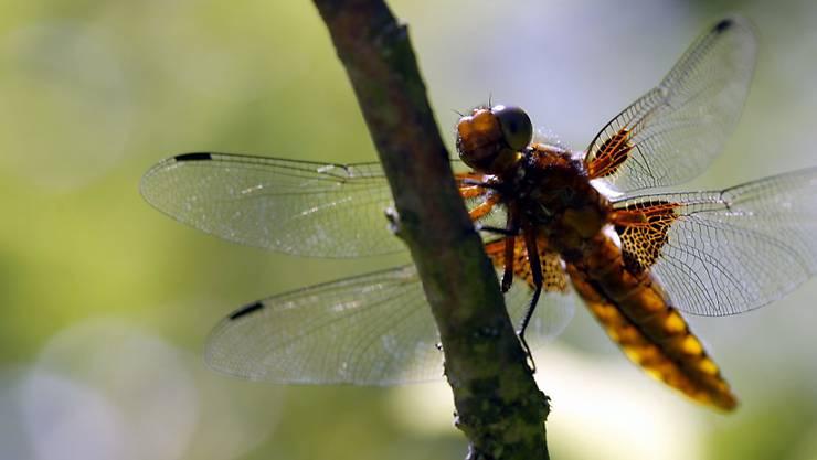 Mehr als die Hälfte aller Insektenarten dürfte noch unentdeckt sein.
