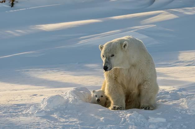 Der Moment, in dem der junge Eisbär zum ersten Mal das Tageslicht entdeckt.