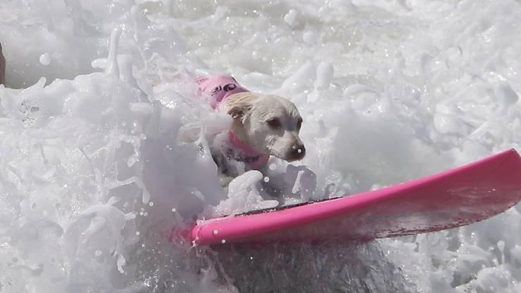 Der Hund hält sich wacker auf dem Brett, während sein Herrchen schon fast komplett von der Welle verschluckt wurde.