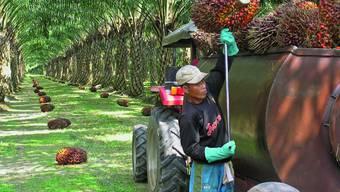 Palmen zerstören den Regenwald