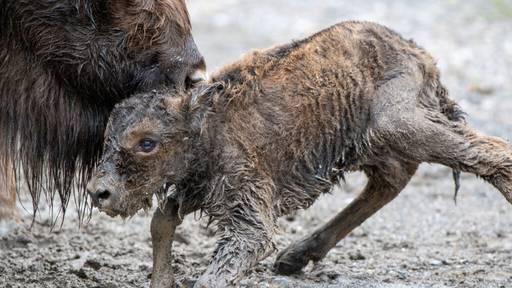 Im Tierpark Goldau ist ein Wisent-Baby geboren