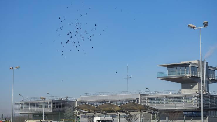 Die Krähen sind in heller Aufregung, weil ein Bussard auf dem Flughafengelände ist.