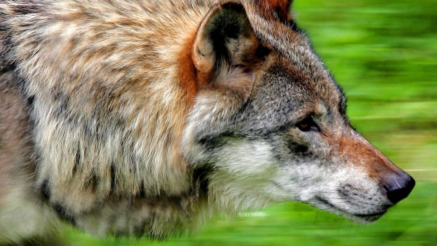 Naturschützer befürchten bei einem Ja zum Jagdgesetz am 27. September, dass unter anderem der Wolf in der Schweiz vom Jäger zum Gejagten wird.