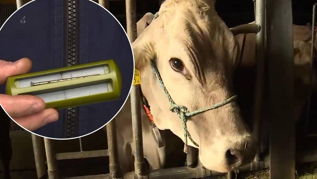 Fremdköperkrankheit – so werden Kühe vor Müll geschützt