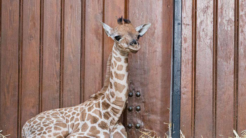 Giraffen-Baby im Basler Zoo geboren