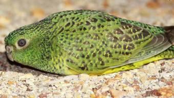 Der lange Zeit für ausgestorben gehaltene Nachtsittich Pezoporus occidentalis sieht in der Nacht gar nicht so gut, haben Forscher herausgefunden. Keine gute Voraussetzung fürs Überleben. (University of Sydney)