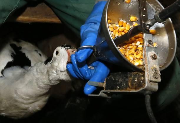 Den Tieren wird der Mais in den Rachen gedrückt.