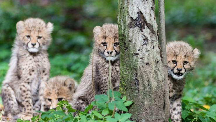 Im Zoo Basel sind nach fünf Jahren wieder junge Geparde geboren.