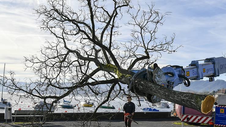 Mit schwerem Gerät sind heute am General-Guisan-Quai in Zürich 31 Bäume gefällt worden. Bei den Rosskastanien sind Fäulnis und Pilzbefall festgestellt worden.