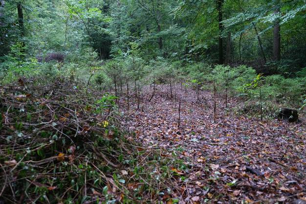 Vor einem Jahr seien die rund 1,2 Meter hohen Tannen gar nicht mehr zu sehen gewesen unter dem grünen Teppich der Schlingpflanze, sagt Förster Rieser..