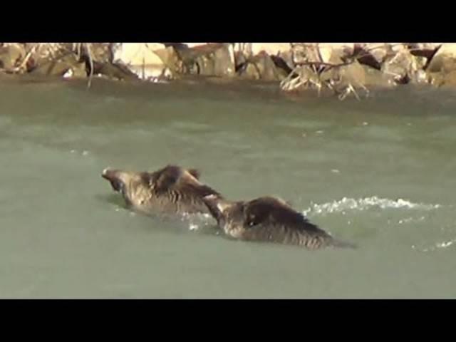 Wildschweine queren den Rhein