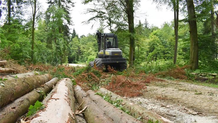 In Möhlin (im Bild) war der Vollernter bereits im Juni im Einsatz, in den Waldungen des Fortsbetriebs Thiersteinberg ist er in diesen Tagen unterwegs, um vom Borkenköfer befallene Bäume zu fällen.