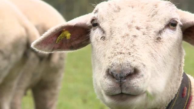 Schafsräuber